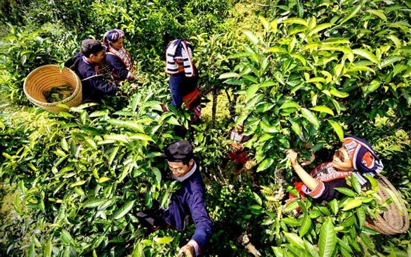 che shan tuyet ha giang 200 den 700 tuoi co gi dac biet 1 - Chè Shan tuyết Hà Giang 200 đến 700 tuổi có gì đặc biệt?