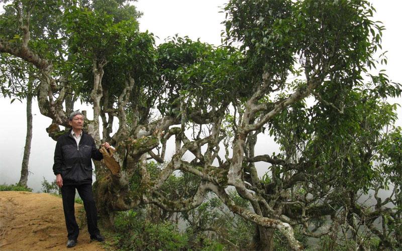 che shan tuyet ha giang 200 den 700 tuoi co gi dac biet - Chè Shan tuyết Hà Giang 200 đến 700 tuổi có gì đặc biệt?