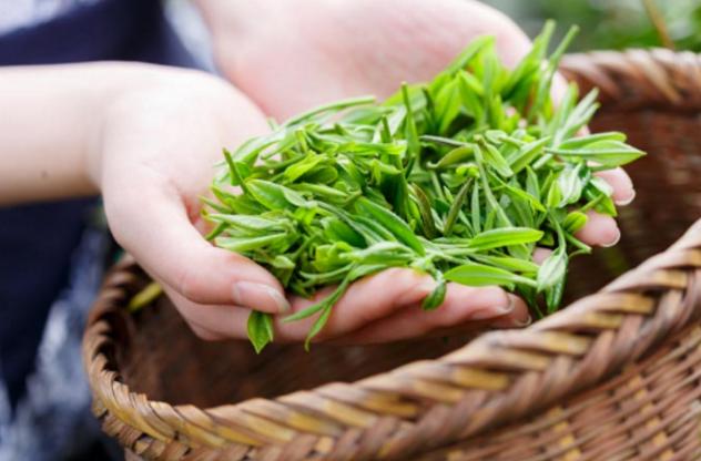 che shan tuyet tinh hoa tu nui rung tay bac 1 - Chè Shan tuyết - Tinh hoa từ núi rừng tây bắc