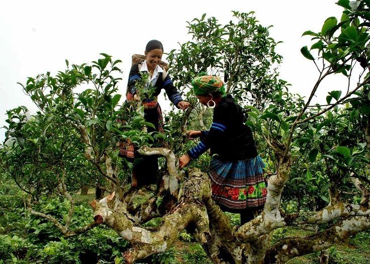 che shan tuyet tinh hoa tu nui rung tay bac - Chè Shan tuyết - Tinh hoa từ núi rừng tây bắc